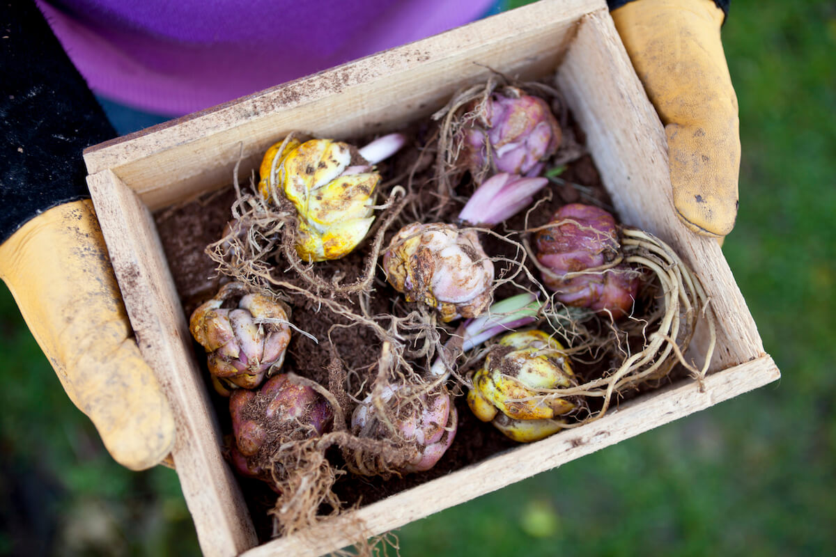 Gardener holding wooden box tray containing sprouting lily flower bulbs.