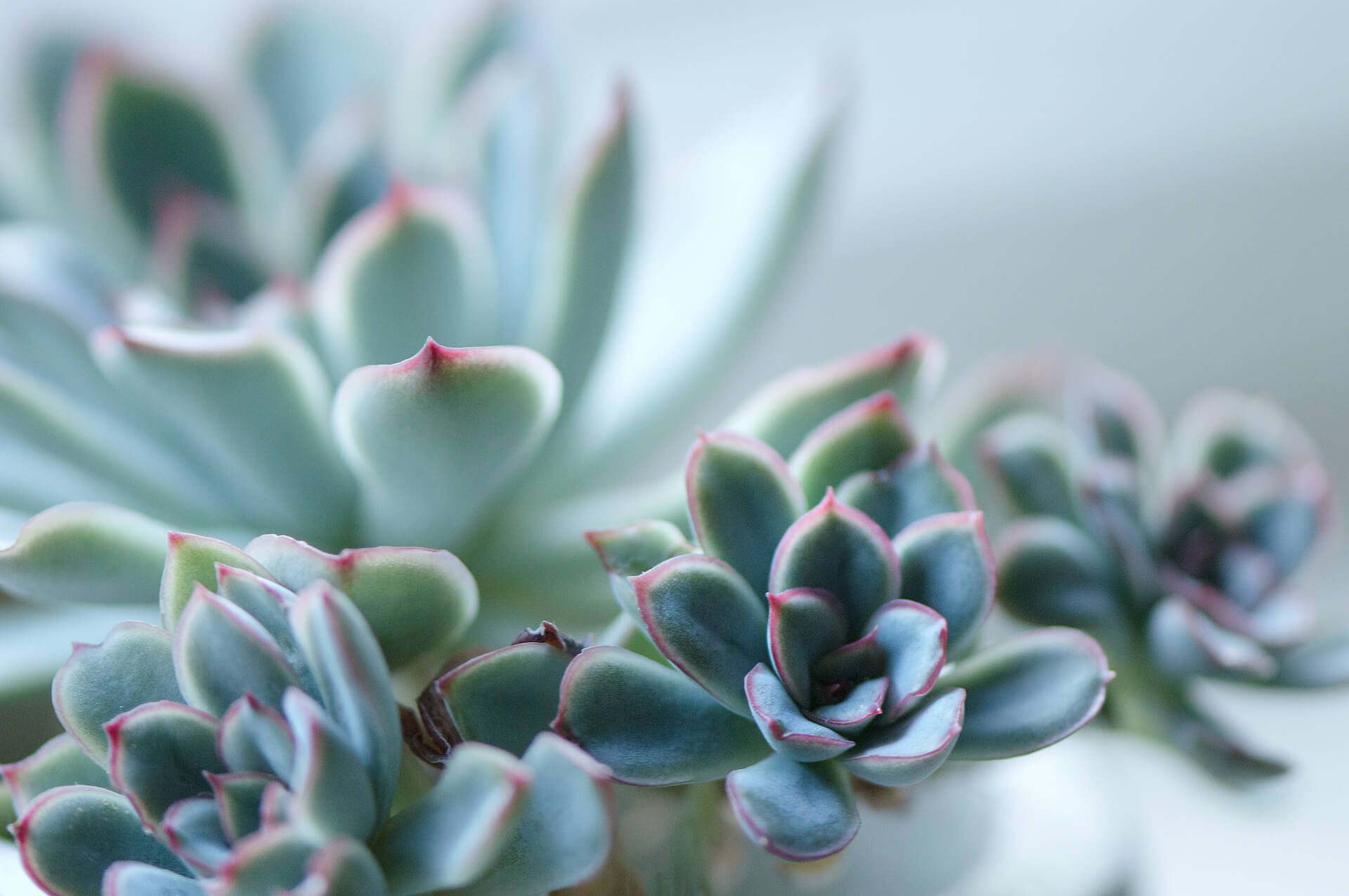 Echeveria with its chicks and bright colored leaves.