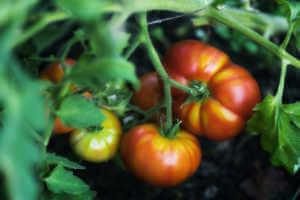 tomato plant growing in organic farm.