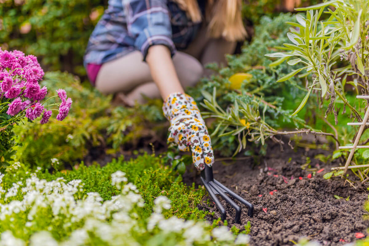 Gardeners hands planting flowers with small rake in a garden.