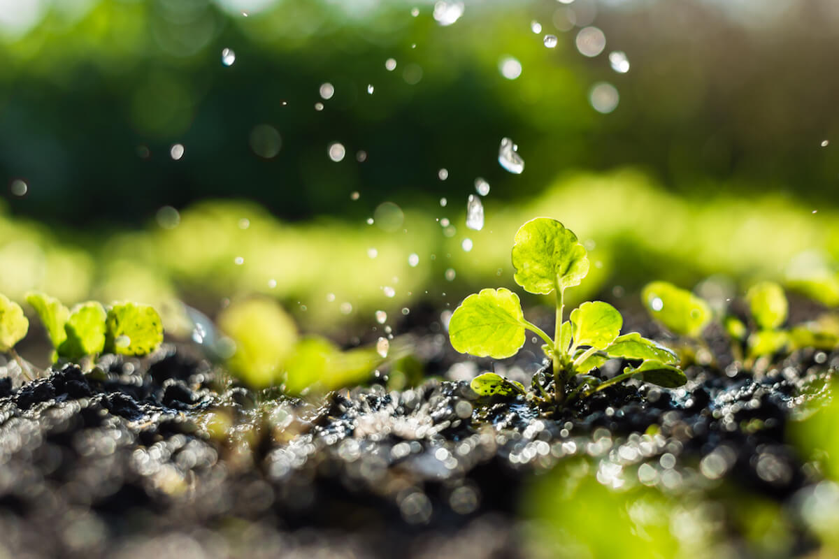 Plant sprouts in the field and farmer is watering it