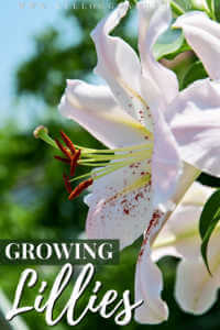 White lilies growing in garden