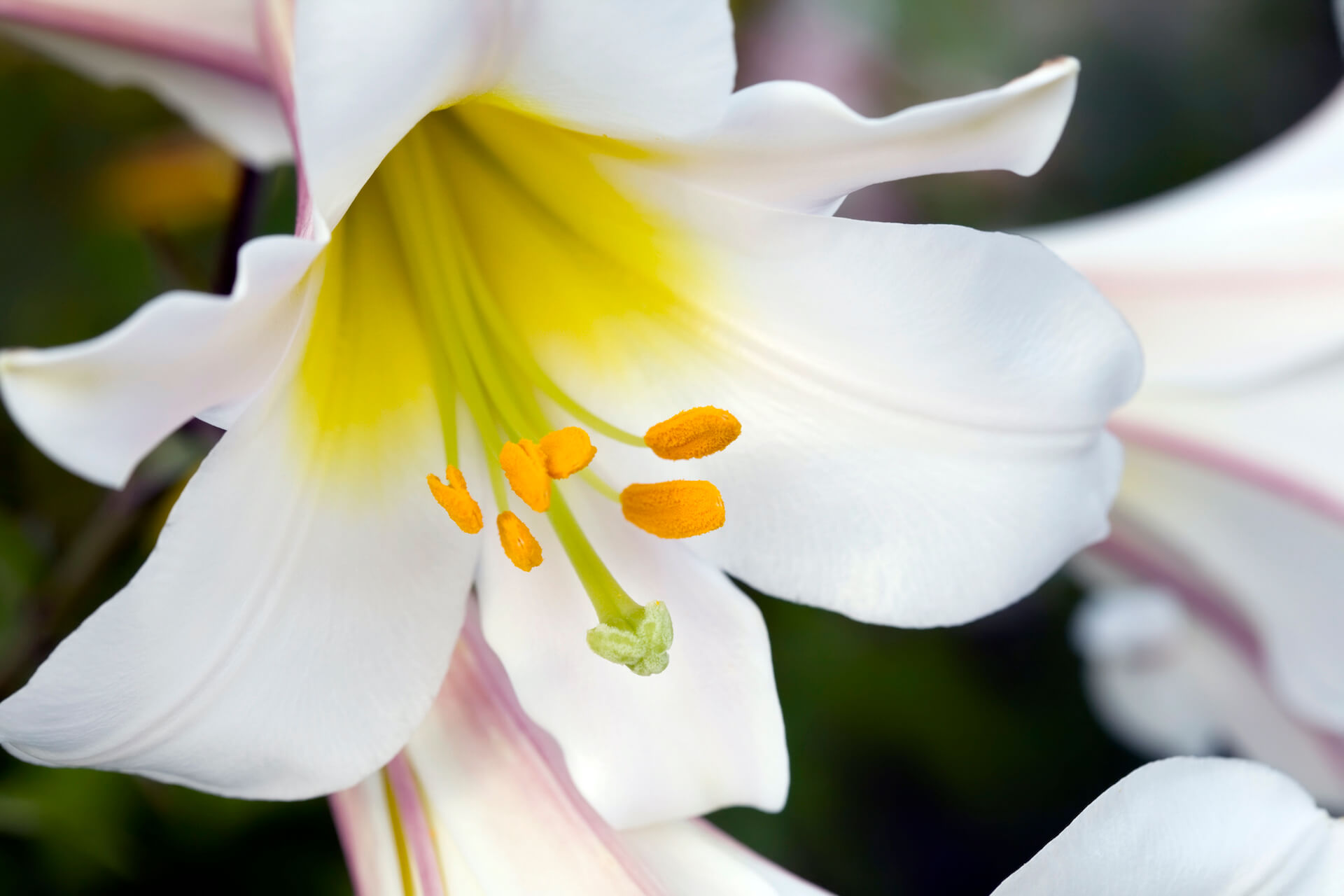 close up of Trumpet-style white