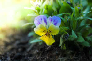 Multicolored wild pansy flower growing in the lawn