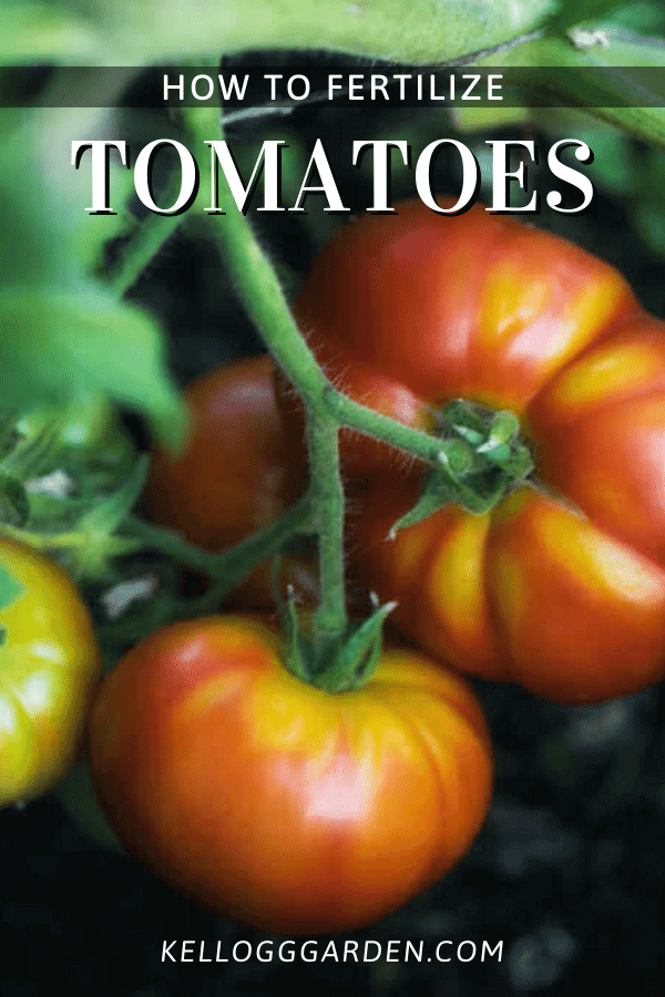 Tomatoes growing on vine in soil.