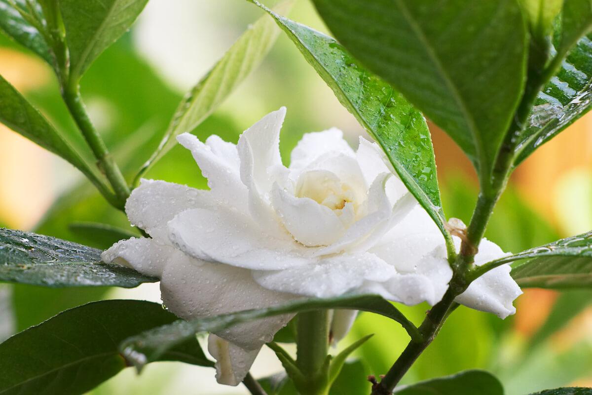 Rain drops in the Gardenia flower
