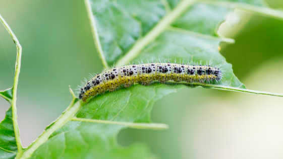 White Caterpillar eating holes in cabbage leaf.