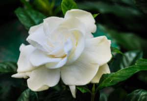 Beautiful white gardenia close up has