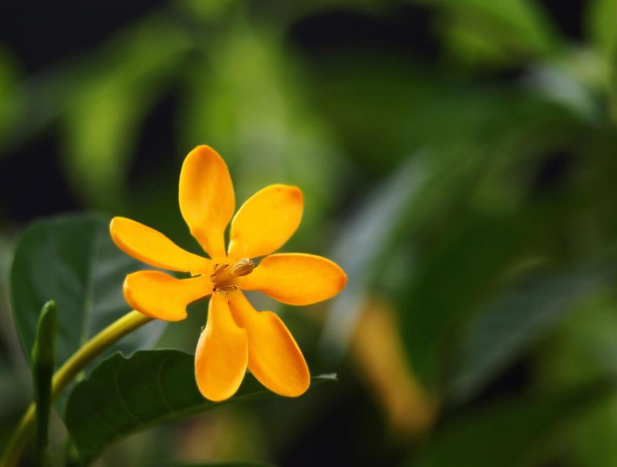 Golden gardenia flower