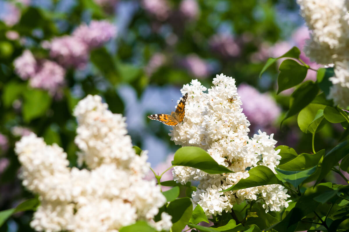 Butterflies flies to a blossoms lilac flowers.