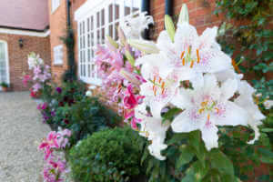 Oriental lilies in an English garden