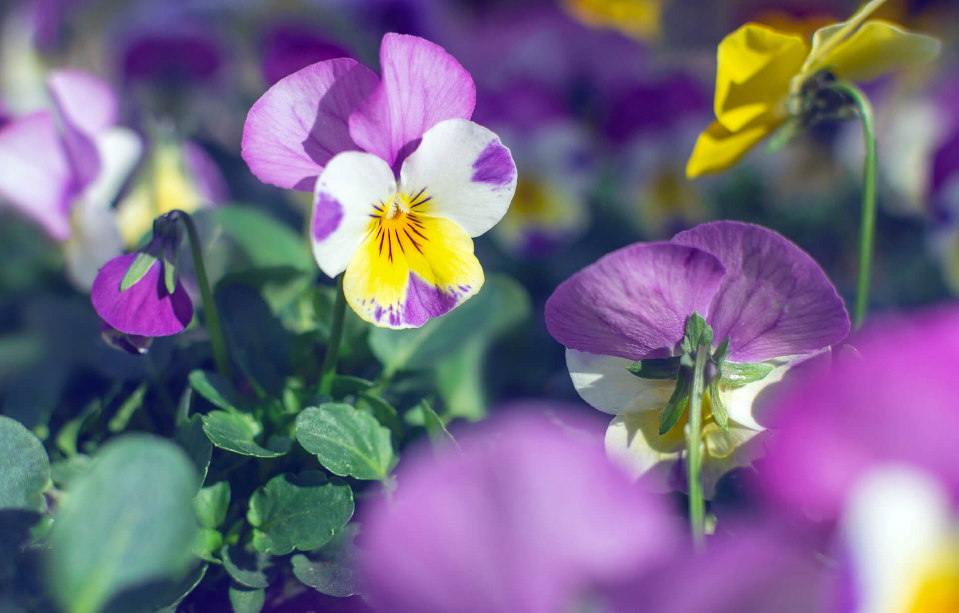 Beautiful pansy flowers growing in the garden at sunny spring day