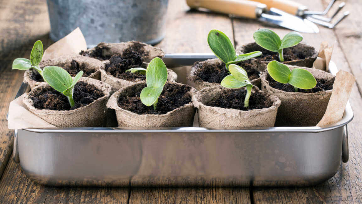 Young pumpkin sprouts in the peat pots on wooden background.