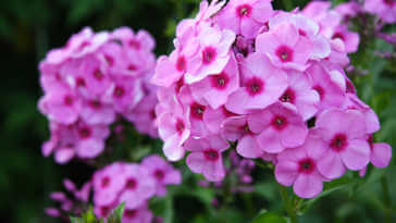 lovely deep pink phlox blossoms framed by dark green leaves
