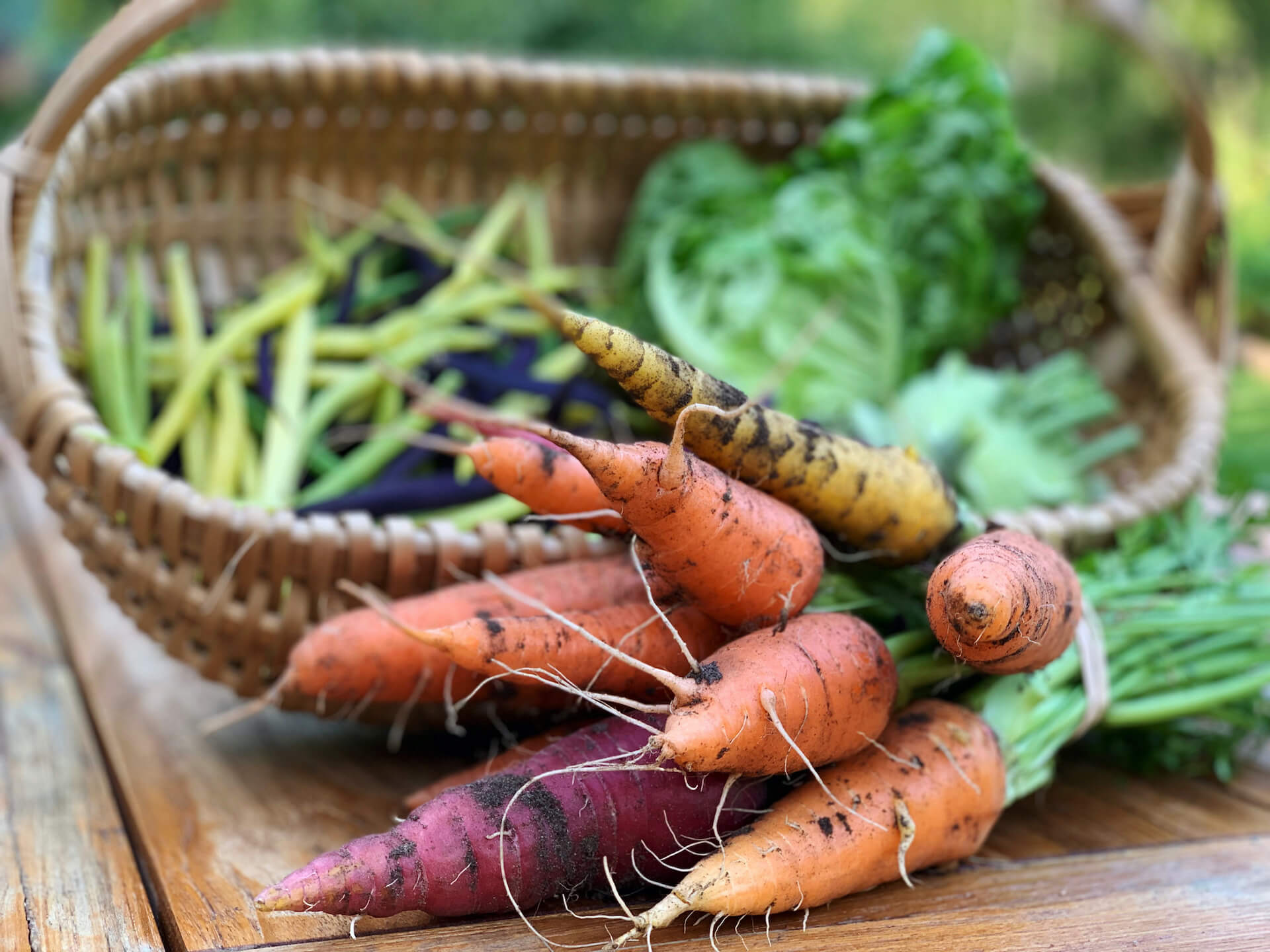 Basket of homegrown carrots picked fresh from organic garden.