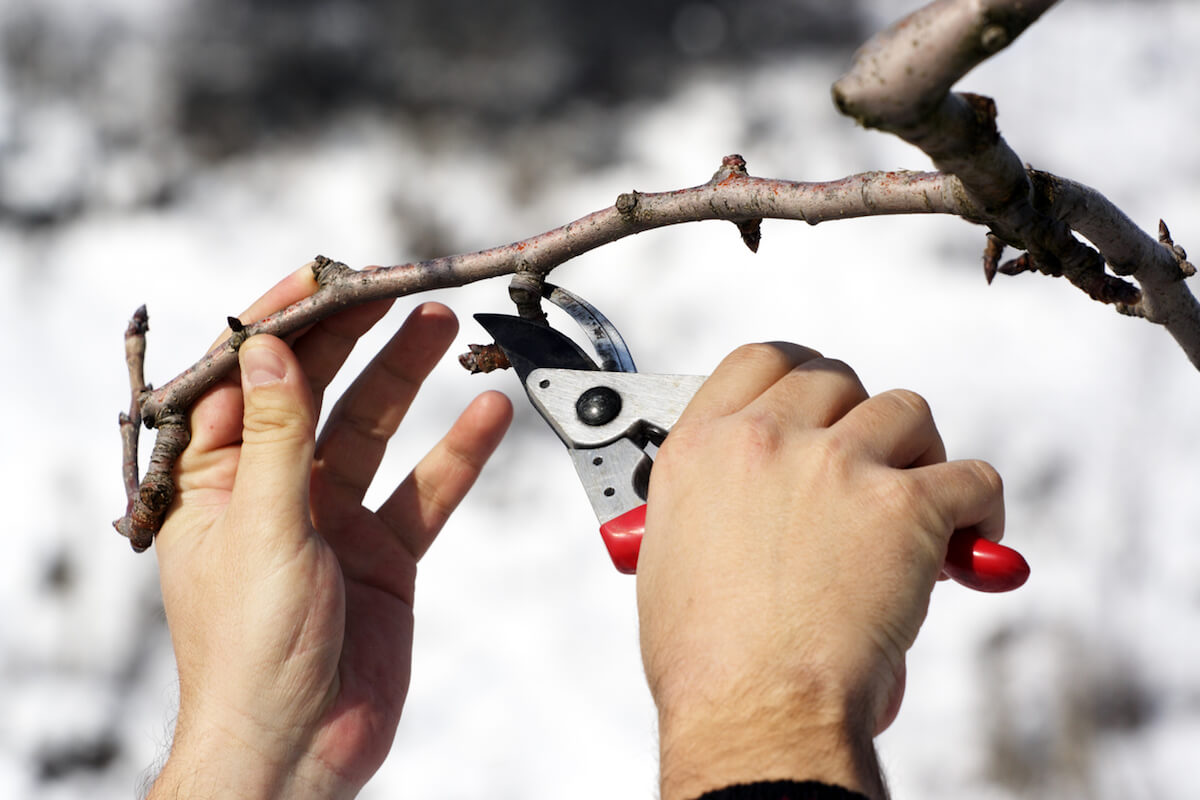 Hands pruning back old branch