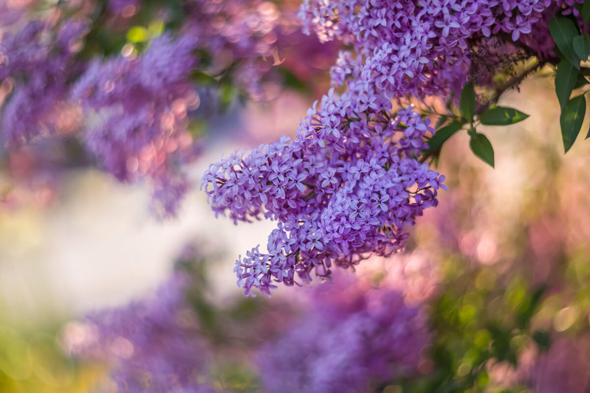 Blossoming purple lilacs in the spring.