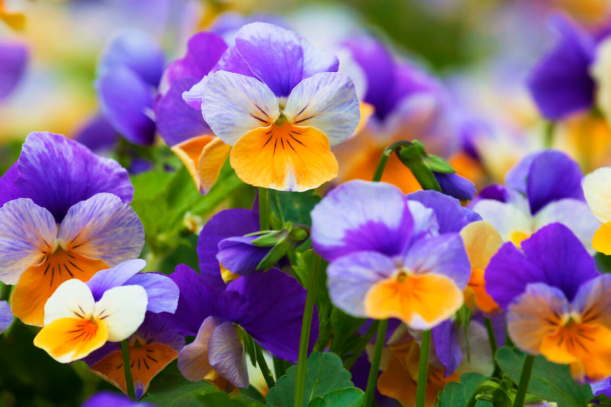 Pansy flowers natural pattern