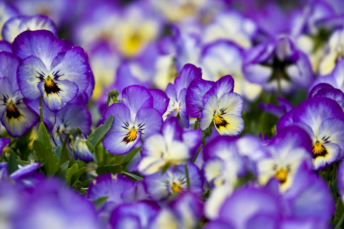 Purple pansy in bloom