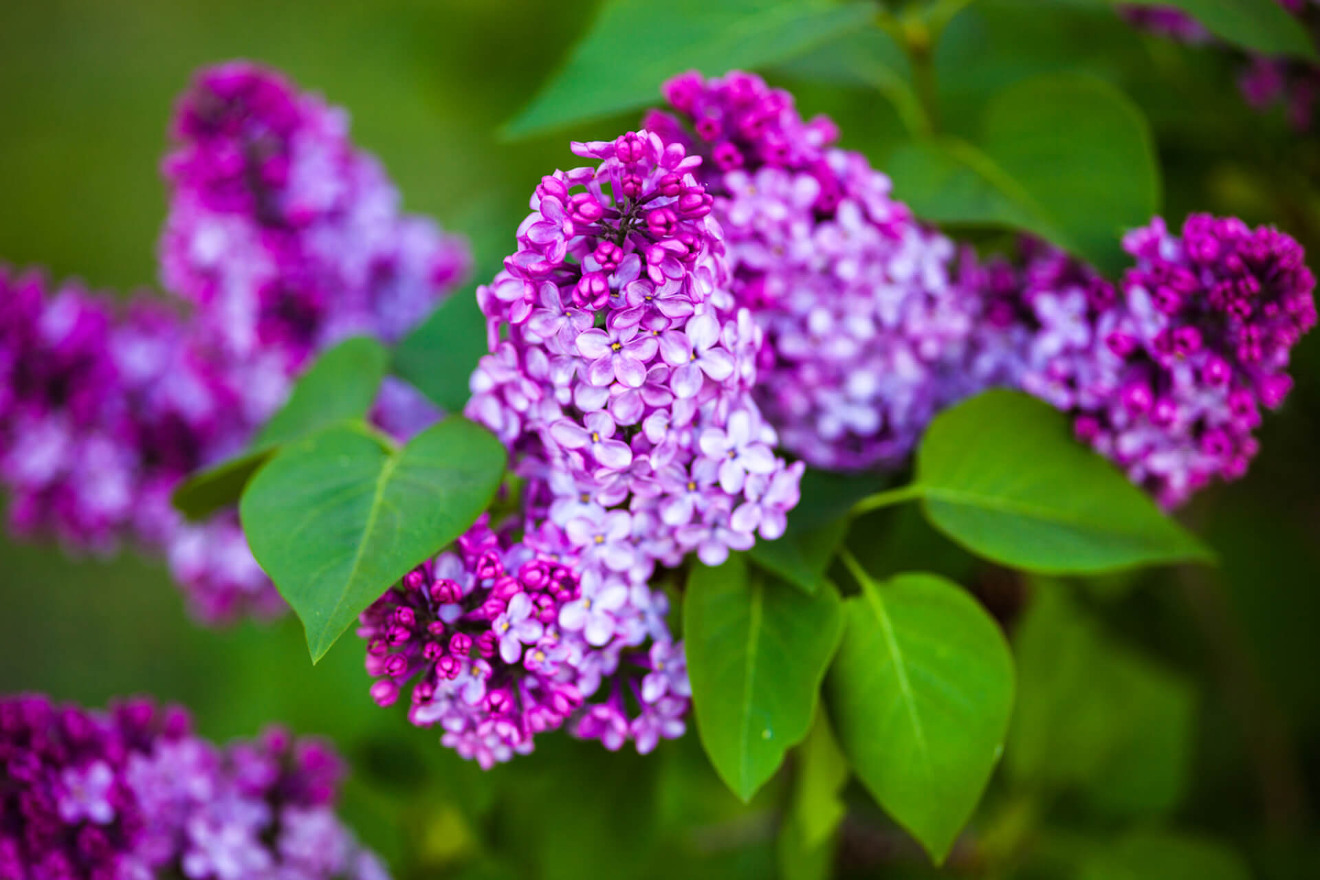 Branches of beautiful and delicate spring lilac flowers.