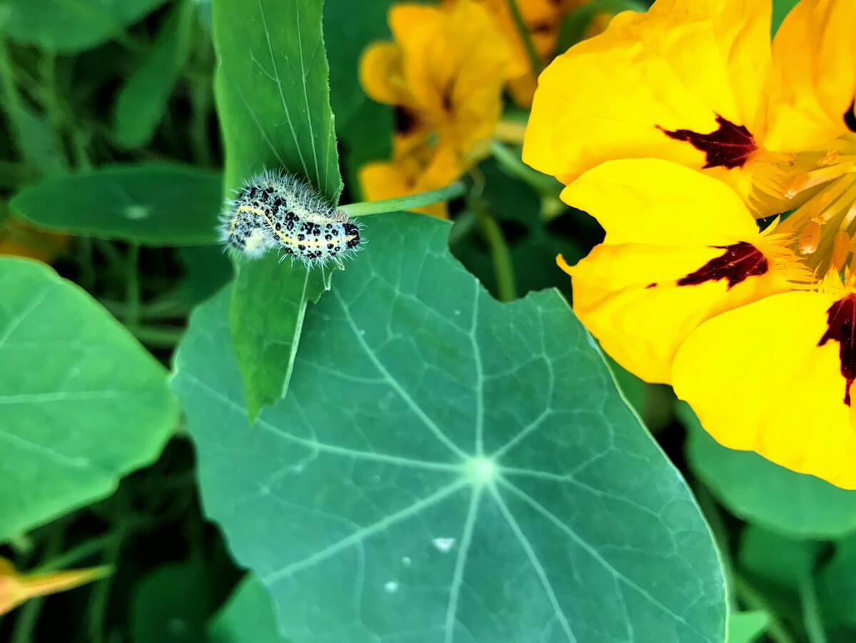 Cabbage caterpillar on a leaf