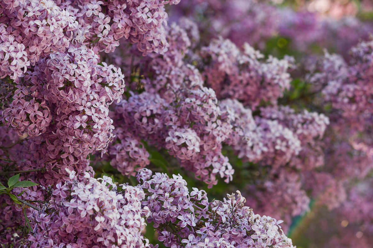 bushes of spring flowering purple lilac.