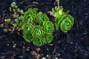 Green Succulent echeveria plant in the house garden.