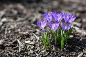 Purple Crocuses in Spring