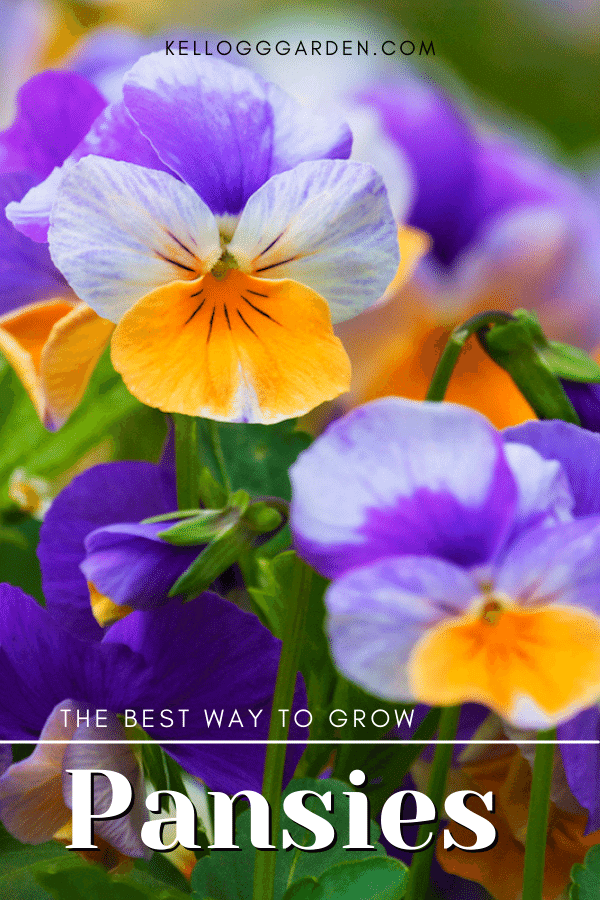 purple and yellow pansies growing in garden.