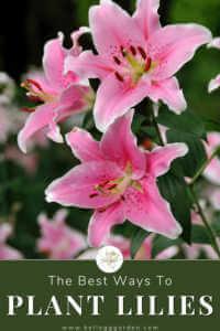 pink lilies in garden