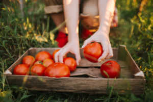 Person placing tomatoes into wooden basket