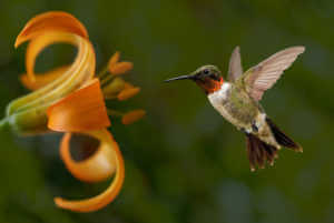 Hummingbird flying next to lily