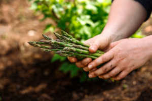 Close up of woman's hands holding freshly picked asparagus