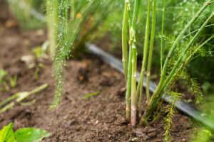 grow asparagus on soil