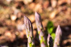 Purple asparagus in ground