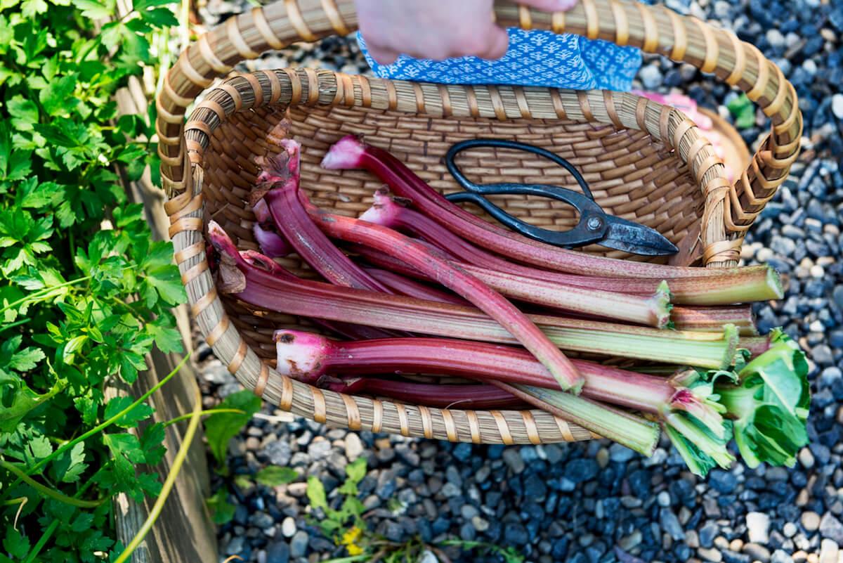 Basket of Fresh Rhubarb