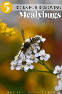 wasp on white alyssum