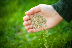 A hand pouring grass seeds to the ground