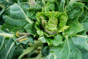 group of cabbage white caterpillars on a vegetable