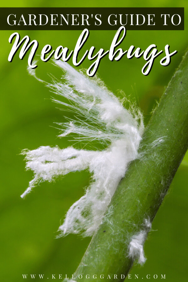 mealybug damage on plant