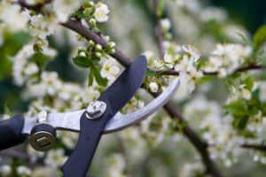 pruning flowering bushes