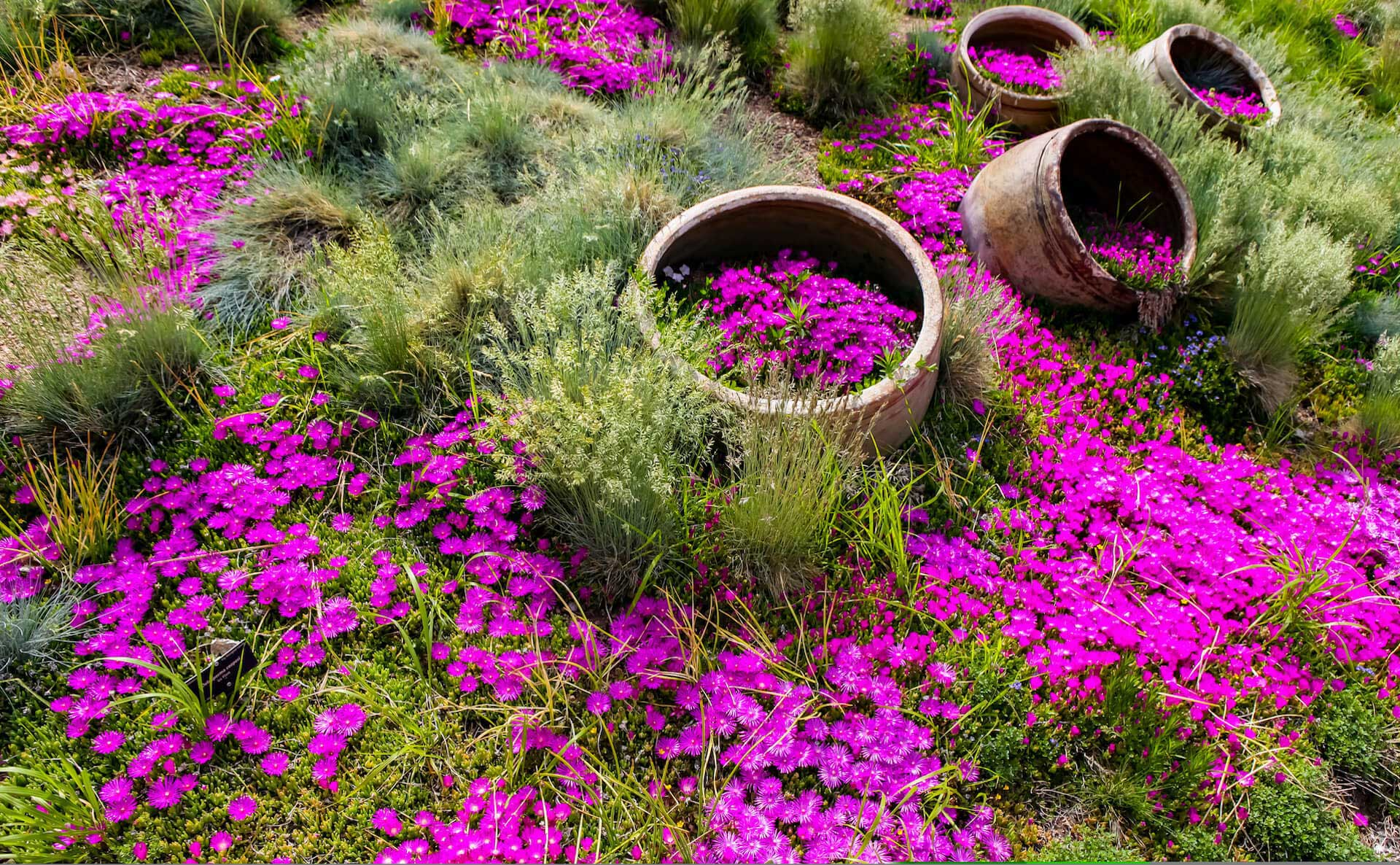 ice plant in the pots