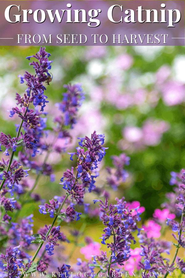 garden of purple catnip
