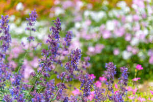 Catnip flower field in summer