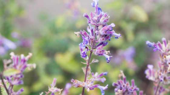 catnip blossom herbal