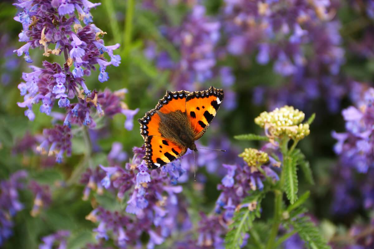 Butterfly on catnip flower
