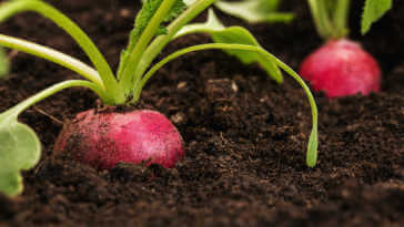 Radish growing out from the soil