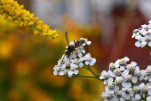 big wasp on yarrow flower