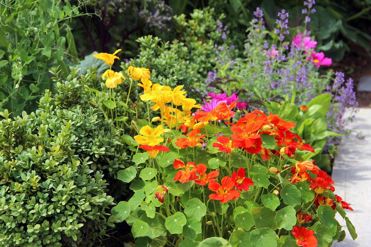 Catnip, nasturtium, and other flowers in garden
