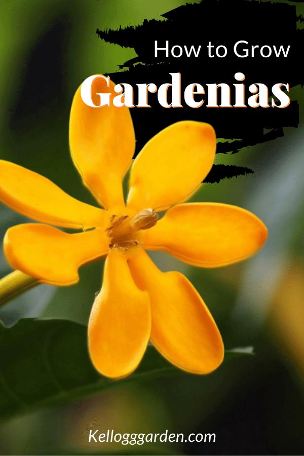 close up of yellow-orange gardenia